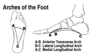 3 arches of the foot